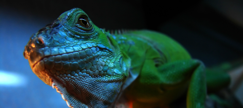 Reptile Nutrition:  From Mouth to Vent